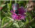 SX9066 : Burnet moth, Barton tip by Derek Harper