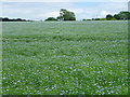 SU1424 : Linseed flax (Linum usitatissimum) by Miss Steel