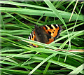 SJ8958 : Small Tortoiseshell butterfly by Jonathan Kington