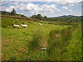 C0213 : Sheep in a weedy pasture by C Michael Hogan