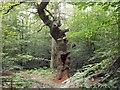 SU9296 : Holey Oak in Penn Wood by michael
