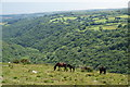 SX6971 : Dartmoor ponies above the Dart Valley by Bill Boaden