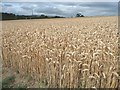 SE2614 : View across wheatfield [1] by Christine Johnstone