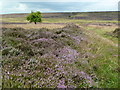SK1973 : Path through the heather on Longstone Moor by Graham Hogg