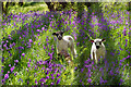 SD5348 : Bowland - among the bluebells by Wojciech Rozanski