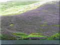 NT2163 : Luxuriant heather clothes the hillside above Glencorse by Anthony O'Neil