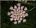 SX9066 : Wild carrot in flower by Derek Harper