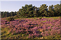 TQ2350 : Heather on Reigate Heath by Ian Capper