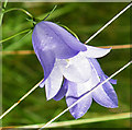 NJ4400 : Bluebells (Campanula rotundifolia) by Anne Burgess