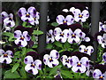 C1611 : Violas in window box by Willie Duffin