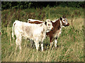 TF6315 : English Longhorn calves on North Runcton Common by Evelyn Simak