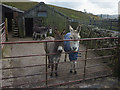 SD7891 : Three donkeys at Garsdale Station by Karl and Ali