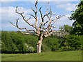 SX6259 : Dead tree, King's Barn by Derek Harper