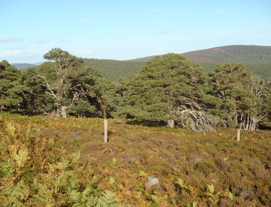 NO4591 : The fringe of the Forest of Glen Tanar by Bob Peace