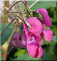 NT1877 : Himalayan Balsam (Impatiens glandulifera) by Anne Burgess