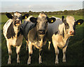 ST5783 : Cows in charcoal and white by Robin Stott
