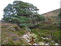 NO4590 : A Scots pine near the Water of Gairney by Mike Dunn