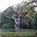 TM3550 : Skeletal Oak by Roger Jones