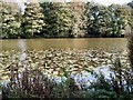 TQ6410 : Water Lilies - Herstmonceux Castle moat by Paul Gillett