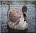 J4967 : Cygnet, Castle Espie by Rossographer