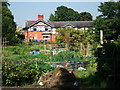 SJ8478 : Allotments, Heyes Lane, Alderley Edge by John Brightley