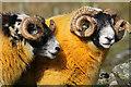 NT1820 : Sheep at Winterhopeburn : Week 45