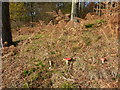 SK1593 : Fly Agaric in conifer woodland by Peter Barr