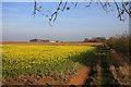 TL5862 : Cover crop off Cadenham Road by Hugh Venables