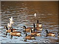 TQ6039 : Canada geese at Dunorlan Park by Oast House Archive