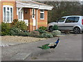 TL0042 : Free-range peacock at Caulcott by M J Richardson