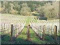 TQ0548 : Albury Vineyard : Week 49