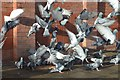 SK5804 : Pigeons next to the canal by Ashley Dace