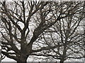 TQ2081 : Oak branches in winter by David Hawgood