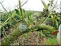 SO6424 : Young mistletoe by Jonathan Billinger