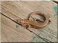 TQ5479 : Common Lizard (Lacerta vivipara), Rainham Marshes by Stefan Czapski