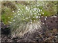SD9129 : Cotton grass in flower by Humphrey Bolton