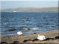 NX0761 : Loch Ryan Swans by Billy McCrorie