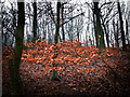 SE2900 : Beech leaves, Mill-Moor Heights by Wendy North