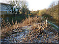 SJ8293 : Japanese Knotweed at the Clough, Chorlton-cum-Hardy by Phil Champion