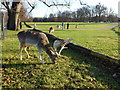 TF0406 : Deer in the grounds of Burghley House, Stamford by Richard Humphrey