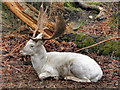 SJ7387 : Albino Deer at Dunham Deer Park by David Dixon