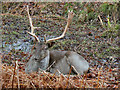 SJ7387 : Stag at Dunham Deer Park by David Dixon