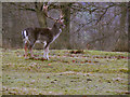 SJ7386 : Stag, Dunham Park Deer Sanctuary by David Dixon