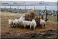 HP5901 : Sheep at a feeder in Uyeasound : Week 6
