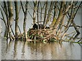TL4869 : Coot nest by Cottenham Long Drove by Hugh Venables