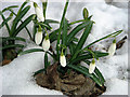 TM1042 : The first snowdrops by Evelyn Simak