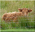 NB2132 : Young Highland Cow by Rob Farrow