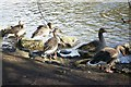 NT2773 : Greylag geese at St. Margaret's Loch by kim traynor