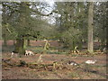 SJ7386 : Not distant deer Dunham Massey by Peter Turner