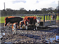 SJ8383 : Cattle at Oak Farm by David Dixon